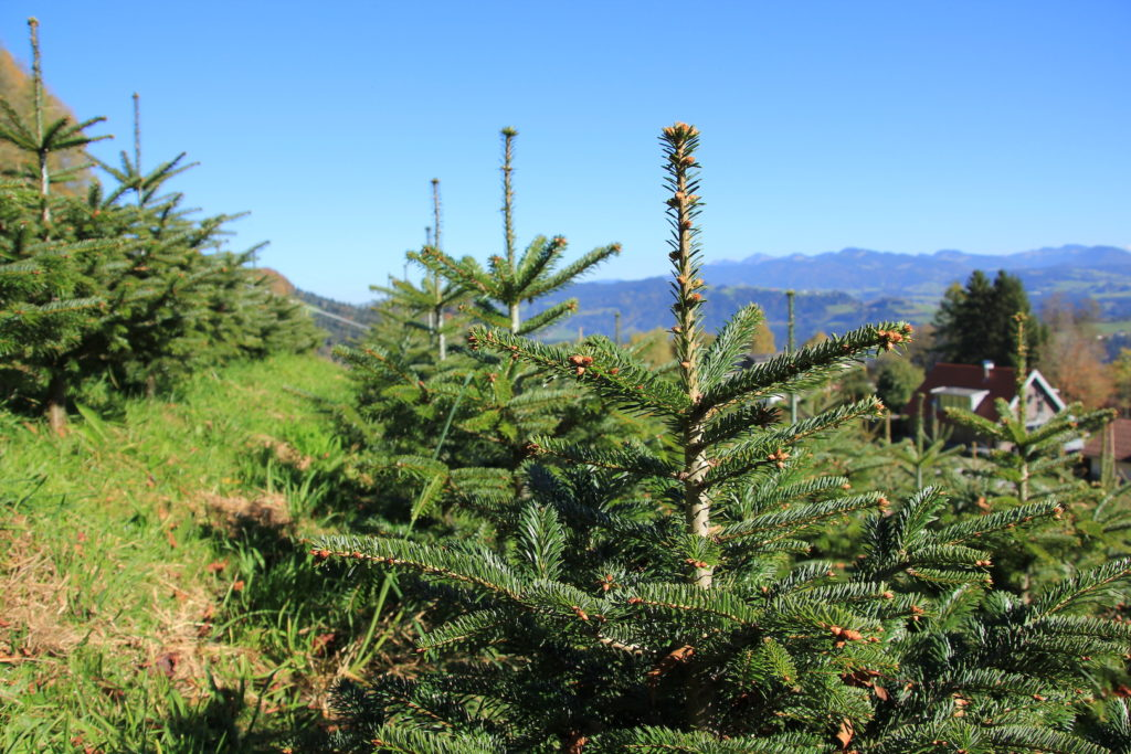 Tannenbaum Bregenz-Fluh